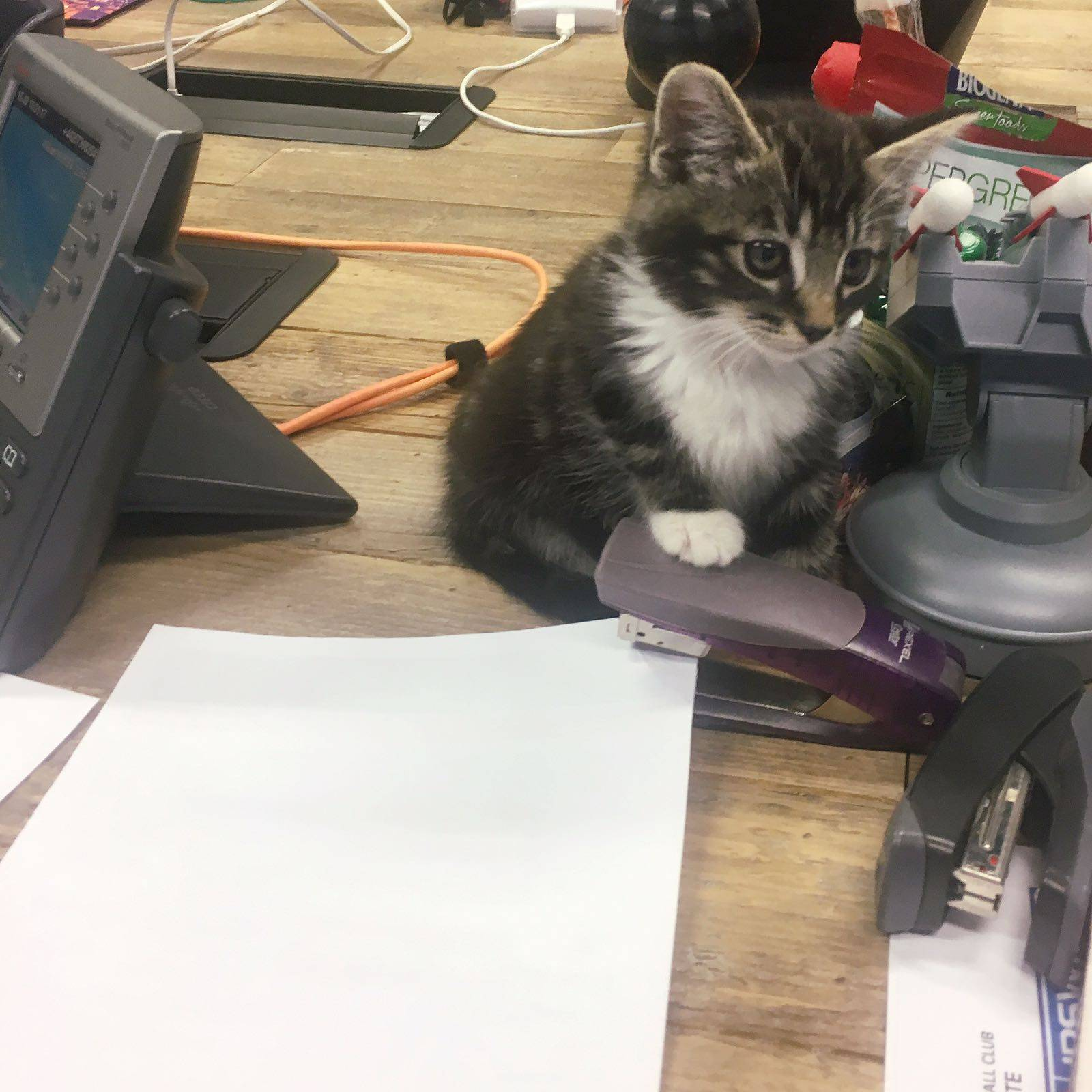 Georgie Tabby Work Office Kitten Cat